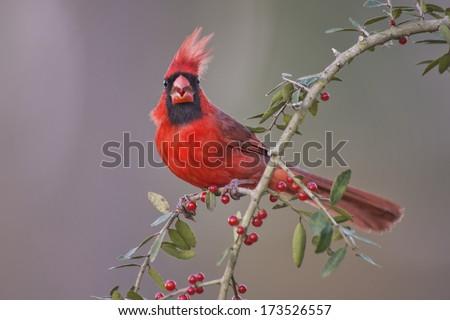 Cardinal on Yaupon Holly Branch - stock photo