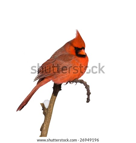cardinal perched on a branch - stock photo