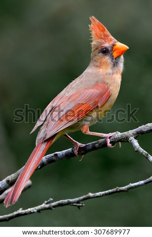 Cardinalis, Northern Red Cardinal, Female - stock photo