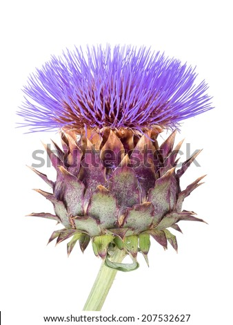 Cardoon,Cynara cardunculus, aka artichoke thistle, cardone, cardoni, carduni or cardi. Isolated on white background - stock photo