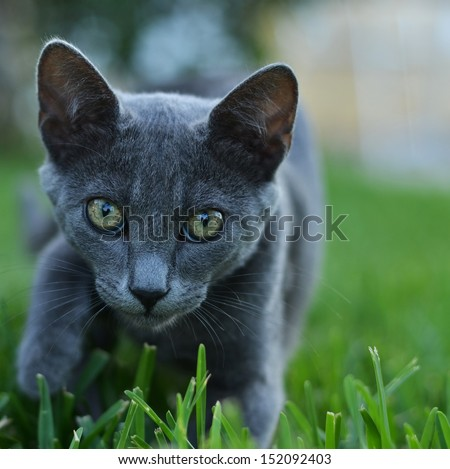 careful gray cat - stock photo