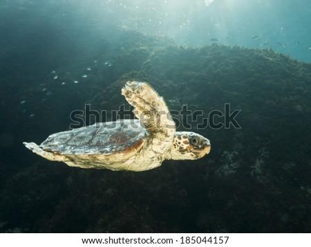 Caretta caretta Turtle swimming at Mediterranean sea - stock photo
