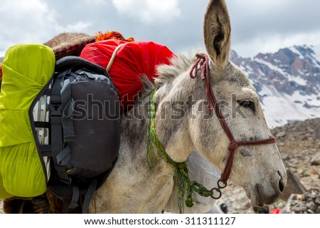 Cargo donkey head. Pack animal close-up carrying sheep decorated with traditional harness and other gear for transportation of load on wild deserted mountain area - stock photo