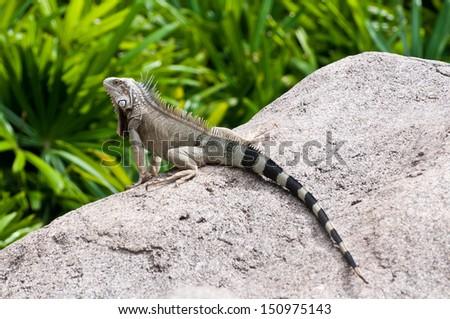 Caribbean iguana on the Rock  - stock photo