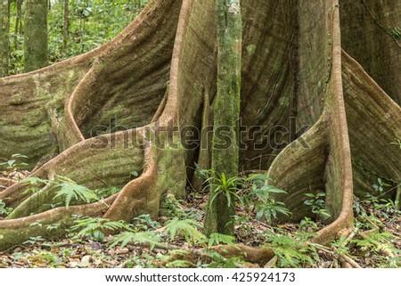 Caribbean jungle with lush green exotic plants, beautiful tall trees at morne diablotin national park - stock photo