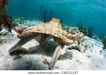 Caribbean reef octopus hunting in the Bahamas - stock photo