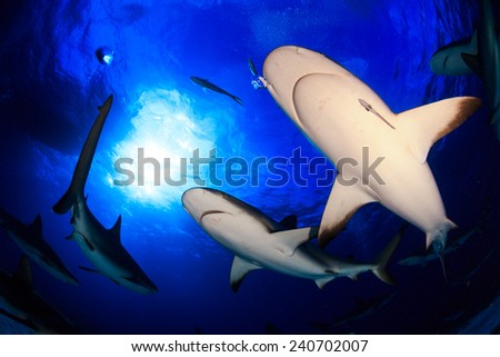 Caribbean reef shark all around bottom up view with clear blue water and sunburst behind in Bahamas - stock photo