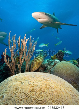 Caribbean reef shark and hard coral , Bahamas island - stock photo