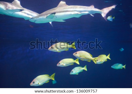 Caribbean reef shark (Carcharhinus perezii) in the blue ocean water - stock photo