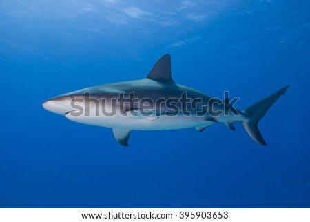 Caribbean reef shark from the side in clear blue water with sun in the background. - stock photo