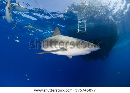 Caribbean reef shark in clear blue water with other sharks and a boat in the background. - stock photo