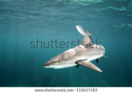 Caribbean reef shark near the surface in the Bahamas - stock photo