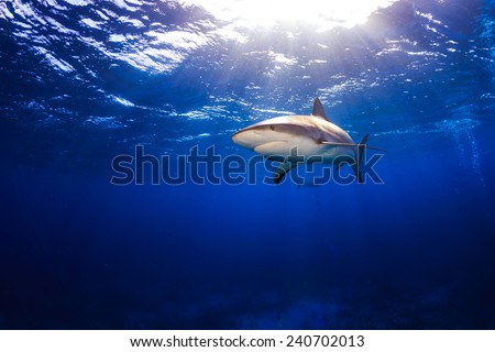 Caribbean reef shark swimming under the surface with sunbeams and a sunburst in Bahamas - stock photo