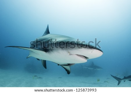 Caribbean reef shark with fishing hook scar - stock photo