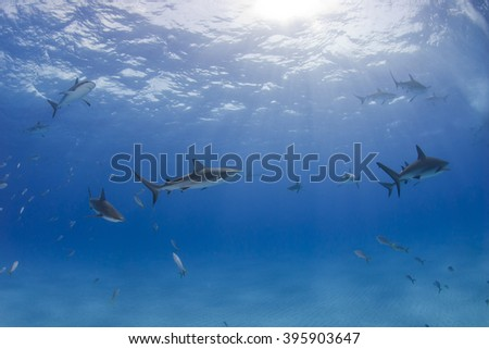 Caribbean reef sharks in clear blue water with the sun in the background. - stock photo