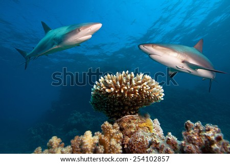 Caribbean reef sharks over the coral reef - stock photo