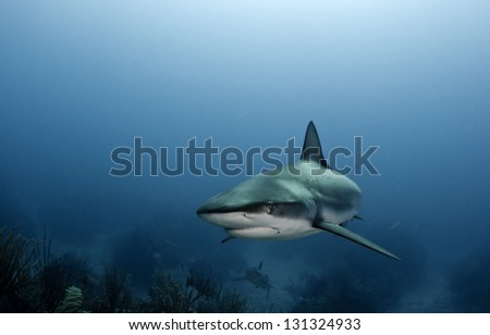 Caribbean reef sharks swimming over coral - stock photo