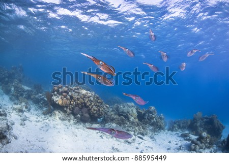 Caribbean Reef Squid (Sepioteuthis sepioidea), school hovering over a tropical coral reef off the island of Roatan, Honduras. - stock photo
