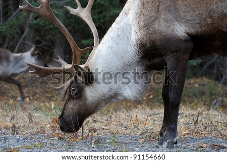 Caribou buck or bull eating grass in the arctic - stock photo