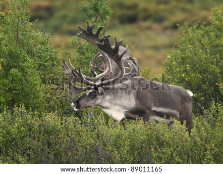 Caribou bulls (Rangifer tarandus), with antlers in velvet, form bachelor bands during spring and summer. DEnali National Park, Alaska. - stock photo