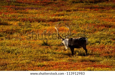 Caribou in colorful tundra vegetation - stock photo
