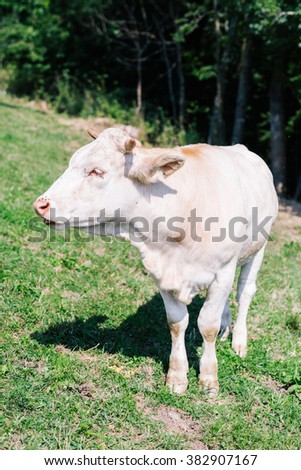 Carinthian Blondvieh standing outside on a field - stock photo