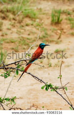 Carmine Bee-eater (Merops nubicus) - stock photo