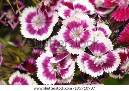 carnation flower - stock photo