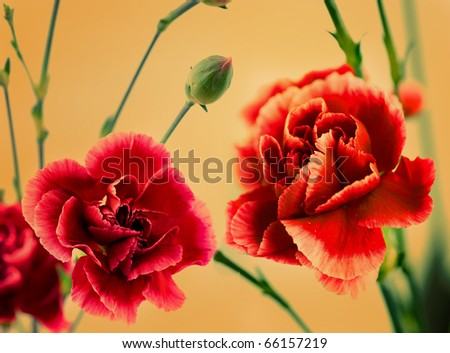 carnation flowers - stock photo