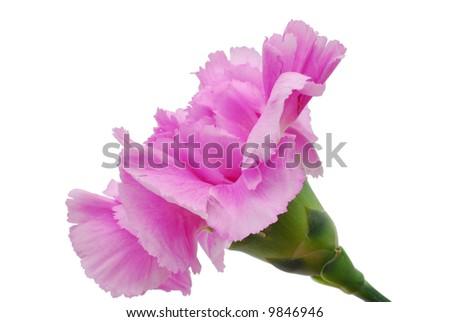 Carnation_pink_ isolated on white Backgrund - stock photo