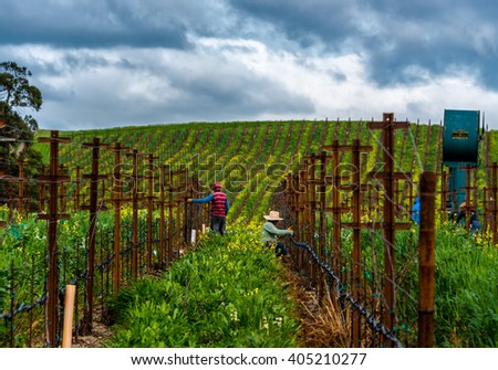 Carneros vineyards in the spring - stock photo