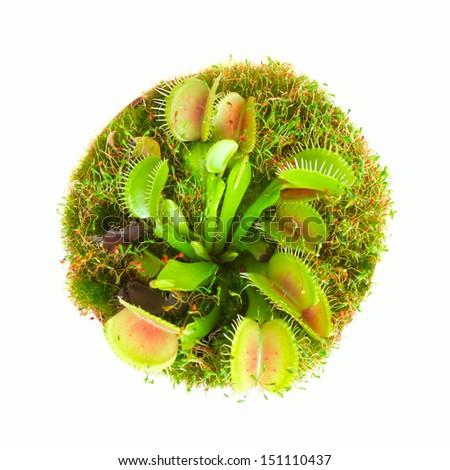 Carnivorous flower muscipula. Top view. - stock photo