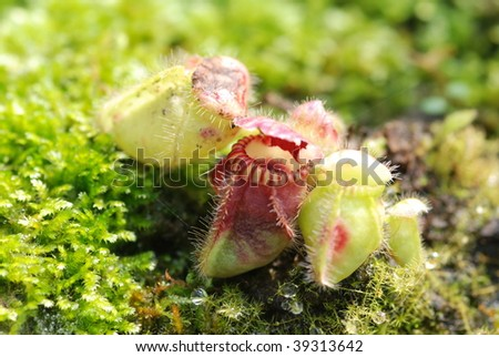 carnivorous pitcher plant - stock photo