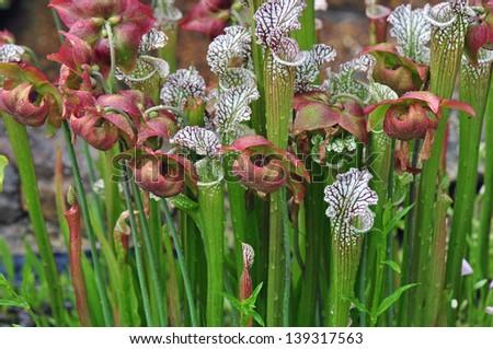 Carnivorous pitcher plants grown in Chapel Hill, North Carolina - stock photo