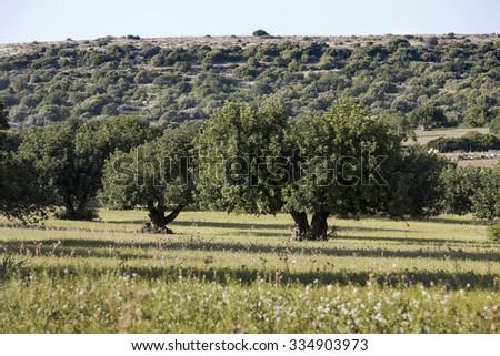 Carob Trees in sicilian landscape. - stock photo