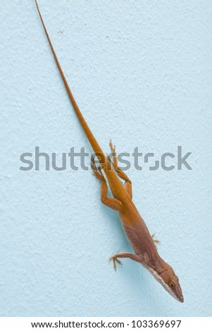 Carolina anole (Anolis carolinensis) on blue wall (Green anole, American anole, red-throated anole) - stock photo