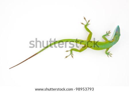 Carolina anole (Anolis carolinensis) on white wall (green anole, American anole, red-throated anole) - stock photo