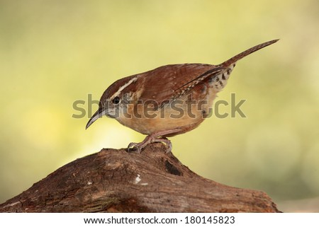 Carolina wren perched on a branch - stock photo