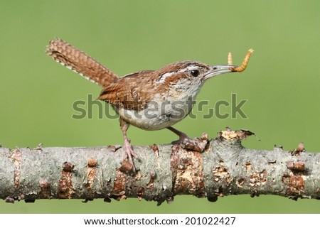 Carolina Wren (Thryothorus ludovicianus) on a branch with a worm - stock photo