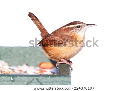 Carolina Wren (Thryothorus ludovicianus) on a perch on a feeder with snow - stock photo
