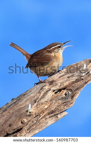 Carolina Wren (Thryothorus ludovicianus) on a tree stump with a blue sky background - stock photo