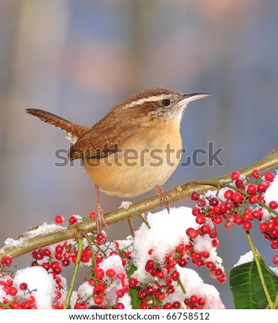 Carolina Wren (Thryothorus ludovicianus).  Winter Carolina Wren on a snowy branch loaded with bright red berries. - stock photo