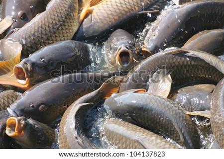 Carp feeding frenzy in Pennsylvania USA - stock photo