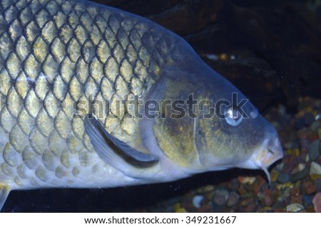 Bottom feeder stock photos images pictures shutterstock for Bottom feeders fish