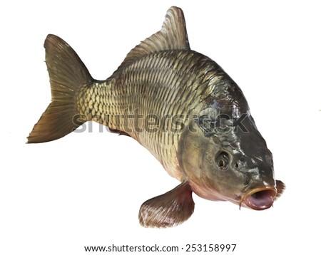 carp fish Isolated on white background - stock photo