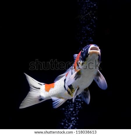 carp fish on black background - stock photo