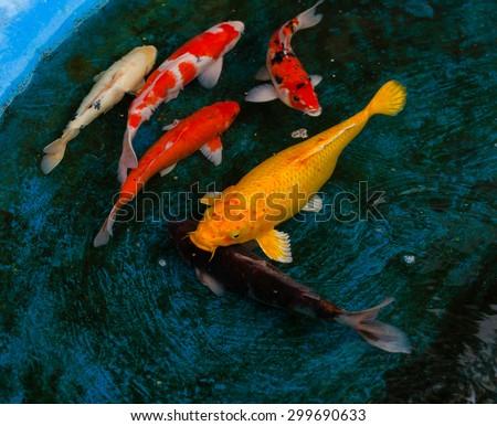 CARP or fancy carp,fish - stock photo