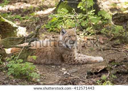 Carpathian lynx Lynx lynx carpathicus, live secretly in European forests - stock photo