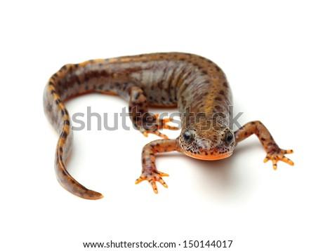 Carpathian newt (Lissotriton montandoni) on white - stock photo