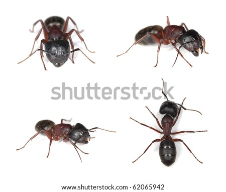Carpenter ants, Camponotus isolated on white. Different positions. - stock photo